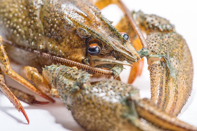 Que Sera Crayfish